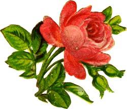 rose-accent