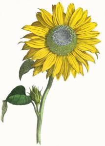 sunflower-yonge