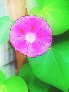 morning_glory_pink