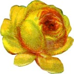 open-yellow-rose