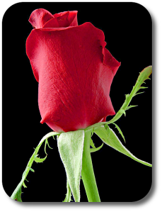 rose_picture