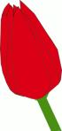 red_tulip