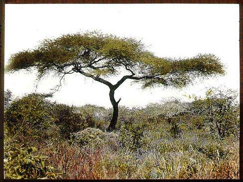 Acacia_tree