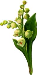 spray-lily-valley