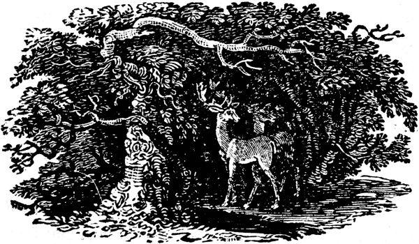 deer-bewick