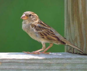 House_Sparrow__Passer_domesticus