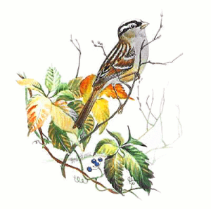 White_Crowned_Sparrow