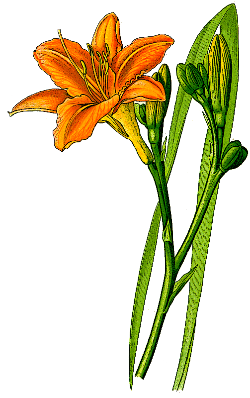 Orange_daylily__Hemerocallis_fulva