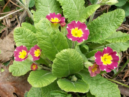 Primroses - photo by Karl