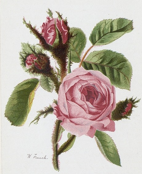 rose-pictures-04