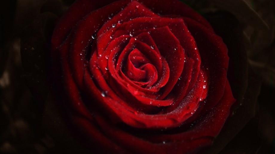 Rose_Flower_Water_Drops