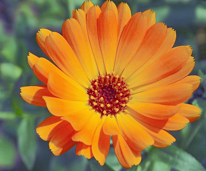 English_Marigold_large