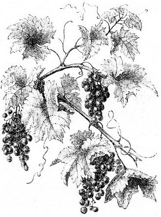 grapes-01