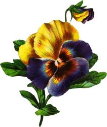 yellow-purple-pansy