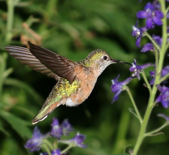 Hummingbird__Female_Broad-Tailed