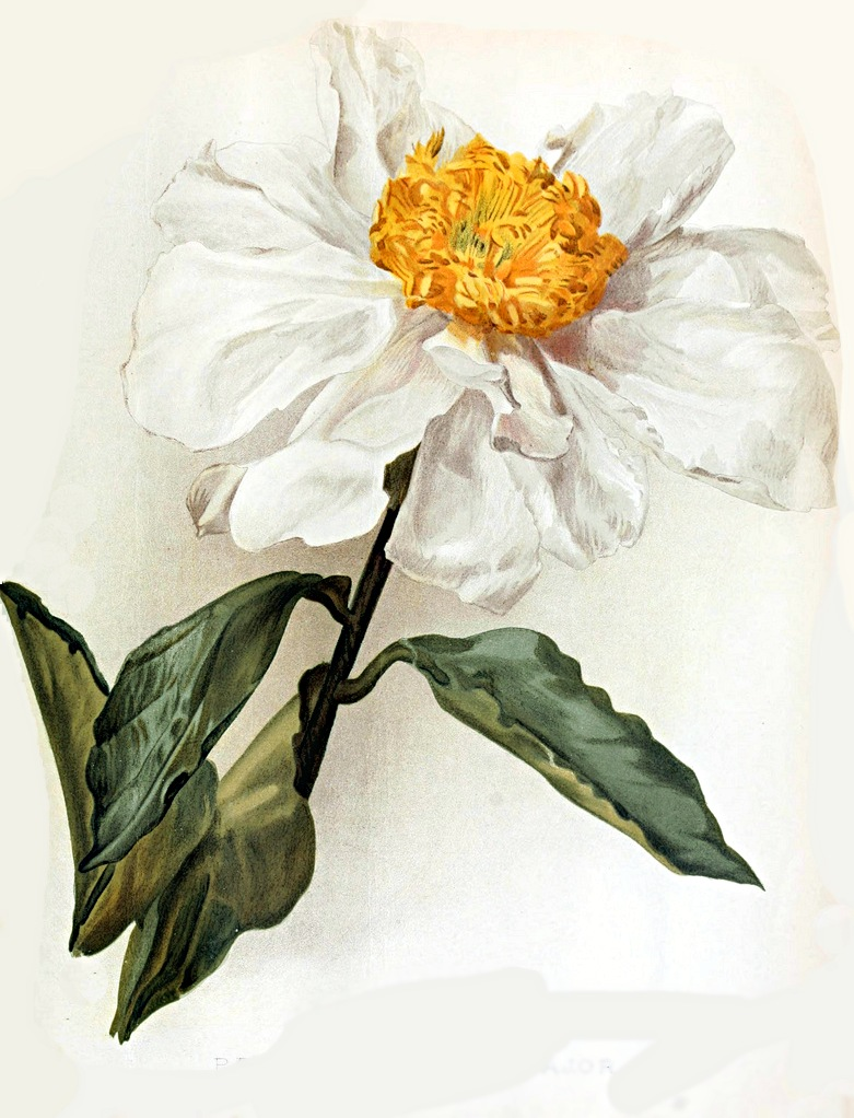 Paeonia_lactiflora_var_major